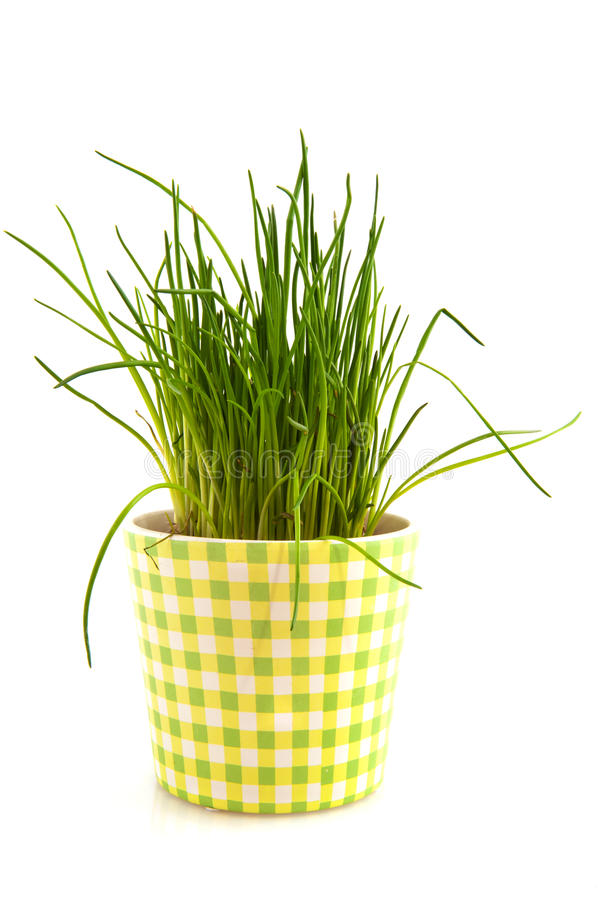 Fresh chive. Herbs plant in checked pot royalty free stock photos