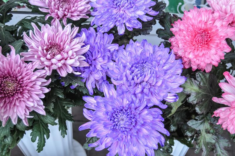 Fresh chrysanthemum of thee colors. Bright multicolored flowers close-up royalty free stock image
