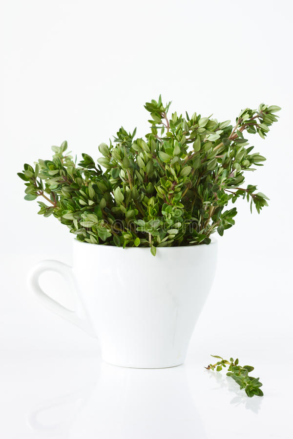 Download Fresh citric thyme. stock photo. Image of herb, thyme - 18573202