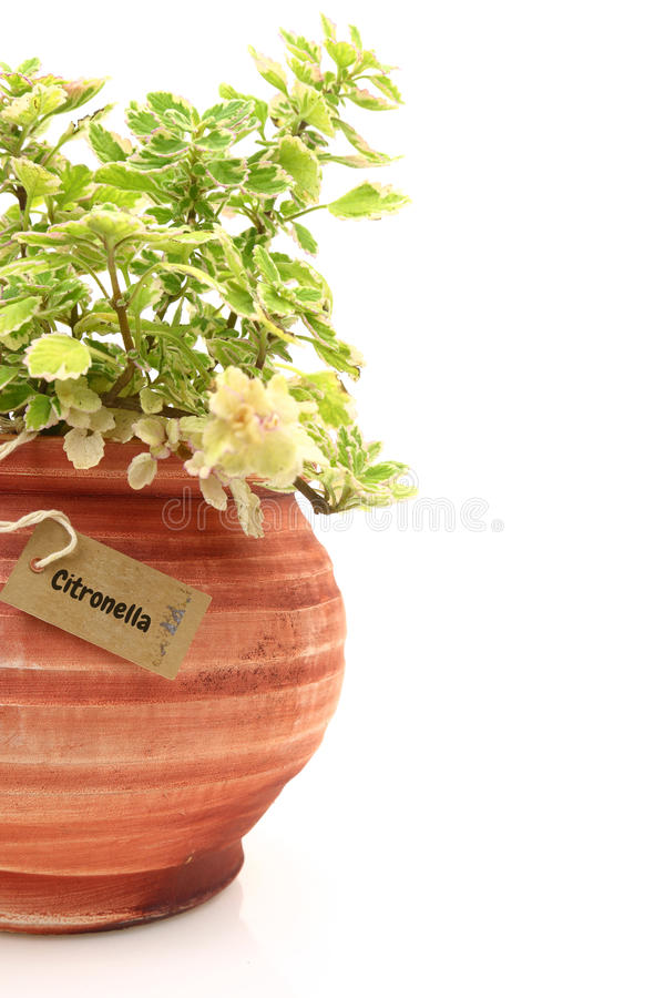 Fresh citronella plant. In a clay pot stock images