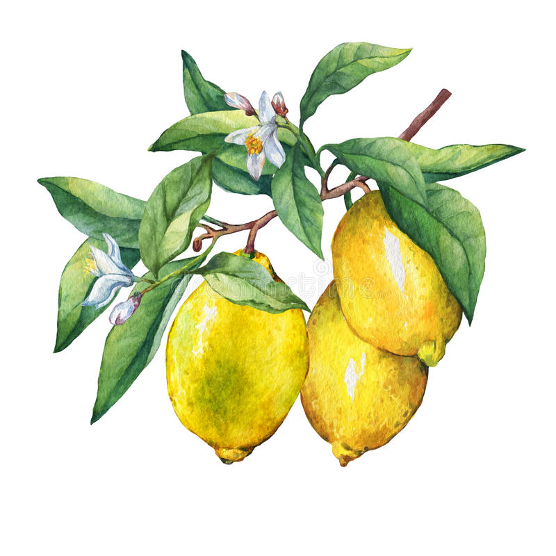 Fresh citrus fruit lemon on a branch with fruits, green leaves, buds and flowers. Hand drawn watercolor painting on white background royalty free illustration