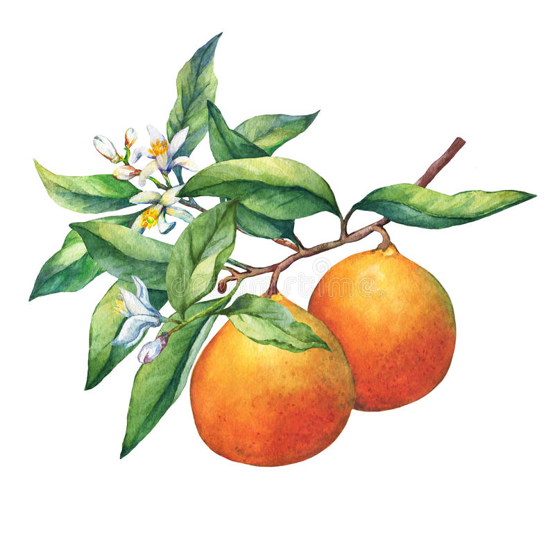 Fresh citrus fruit oranges on a branch with fruits, green leaves, buds and flowers. Hand drawn watercolor painting on white background royalty free illustration