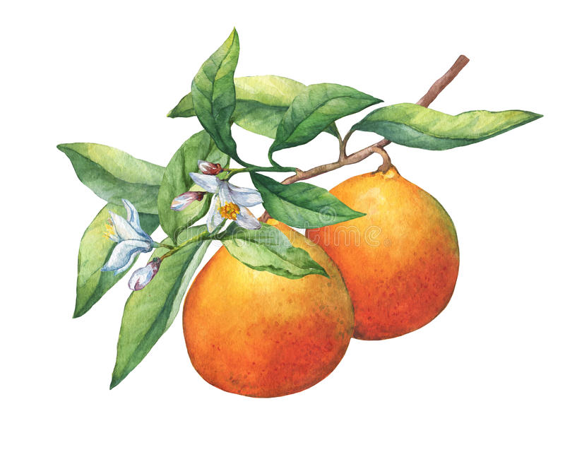 Fresh citrus fruit oranges on a branch with fruits, green leaves, buds and flowers. Hand drawn watercolor painting on white background stock illustration