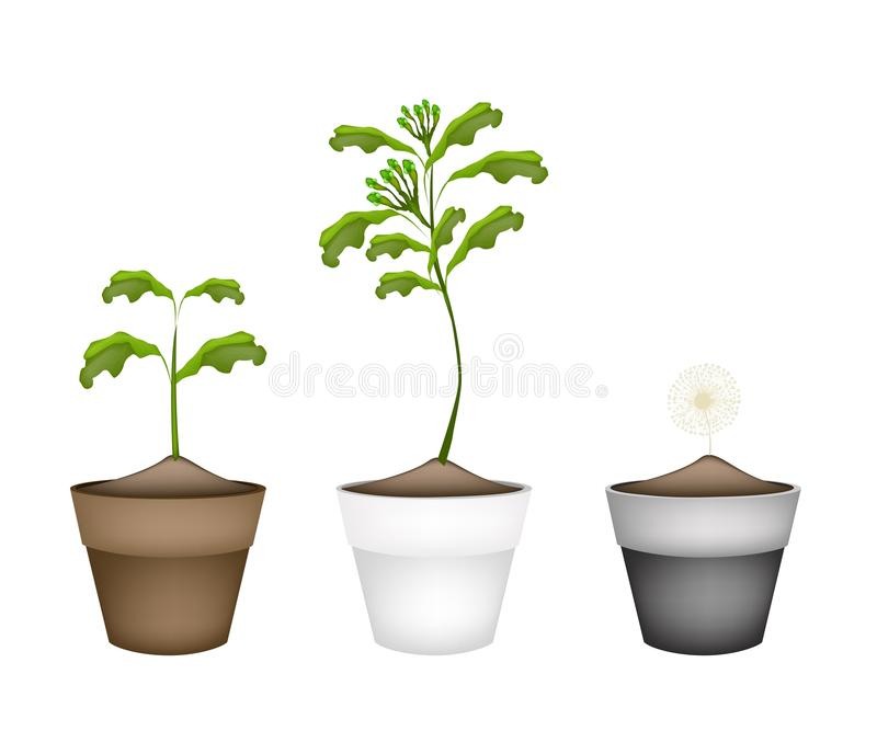Fresh Clove Plant in Ceramic Flower Pots. Vegetable and Herb, Illustration of Clove Plant with Green Pods in Terracotta Plant Pots for Garden Decoration stock illustration