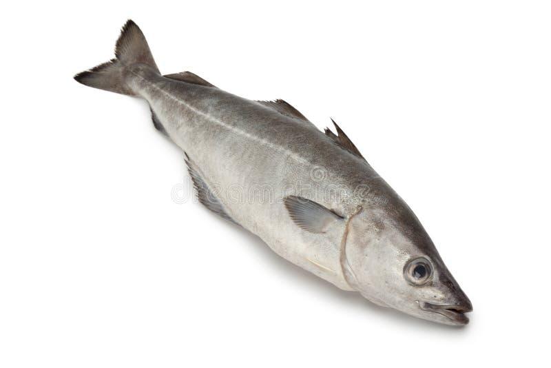 Fresh coalfish fish. On white background royalty free stock images