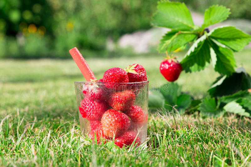 Fresh cocktail made of Fresh ripe red strawberry and strawberry Bush grow in the garden. top quality, organic food stock images