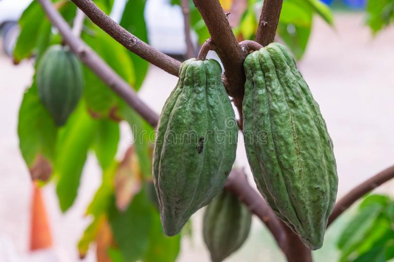 Fresh cocoa fruit at cacao tree royalty free stock image