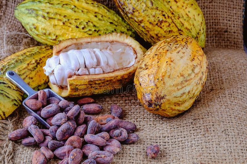 Fresh cocoa with cocoa pods and cocoa beans stock photos