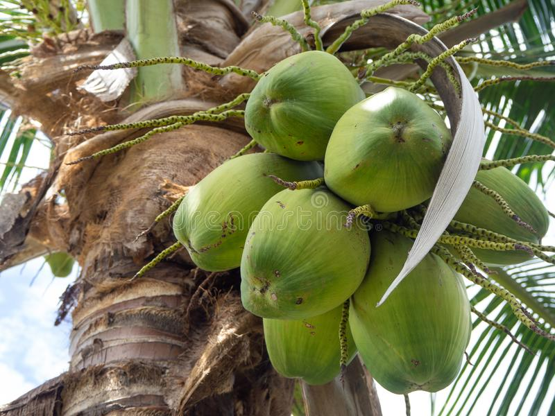 Fresh coconut on the coconut tree. royalty free stock image