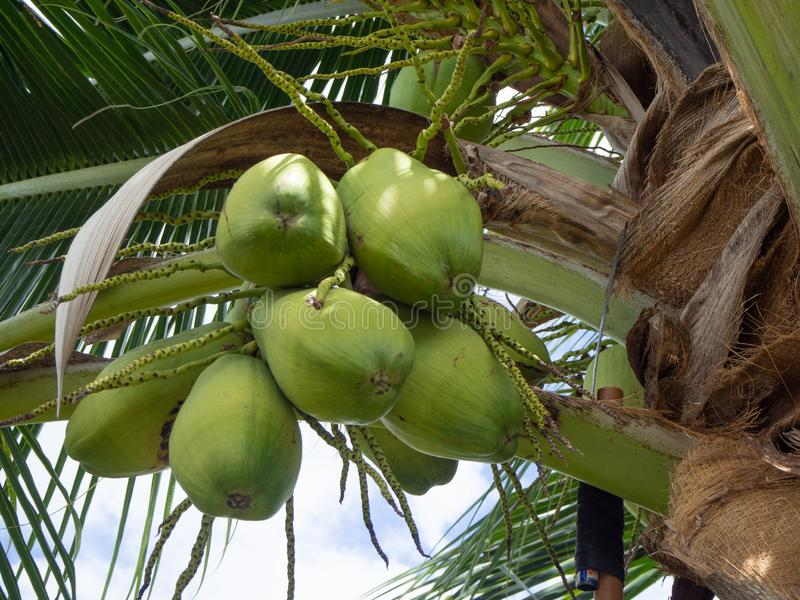 Fresh coconut on the coconut tree. royalty free stock photography