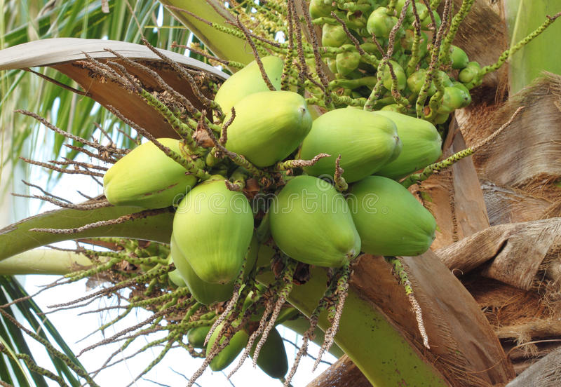 Coconut on the tree royalty free stock photos