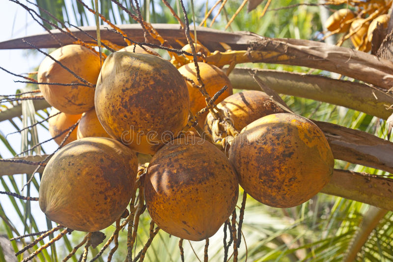 Download Fresh Coconuts On Palm Stock Image - Image: 31308571