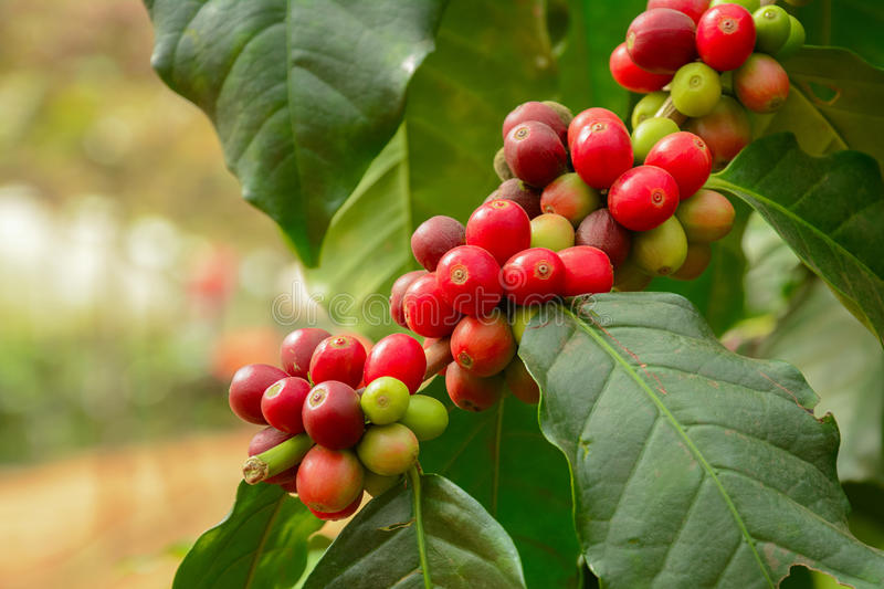 fresh coffee beans on branch of coffee plant stock image. Black Bedroom Furniture Sets. Home Design Ideas