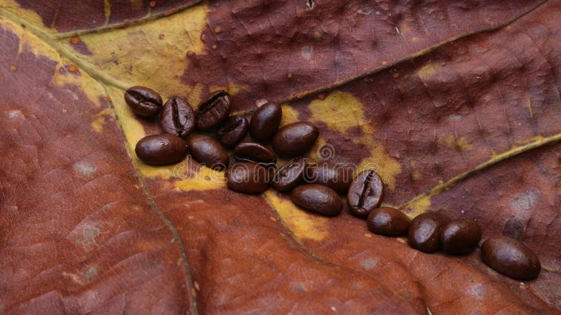 Fresh coffee beans on brown teak leaves have yellow spots. Fresh coffee beans on teak leaves are yellow brown spots, soft coffee texture royalty free stock image