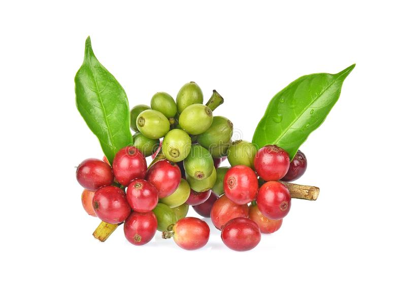 Fresh coffee beans with green leaver isolated on white background royalty free stock photo