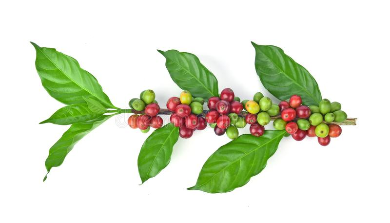 Fresh coffee beans isolated on white background royalty free stock photography