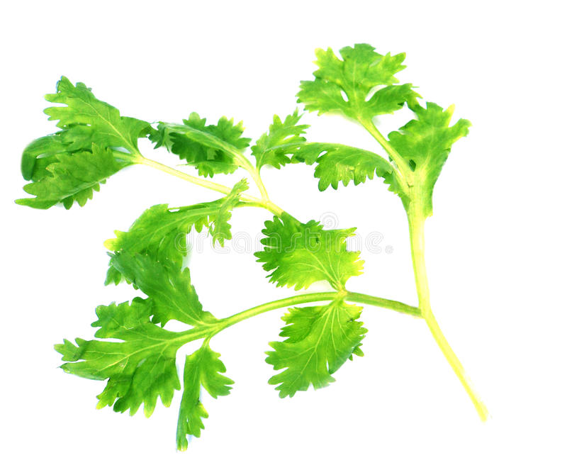 Download Fresh coriander leaves stock image. Image of coriander - 23000927