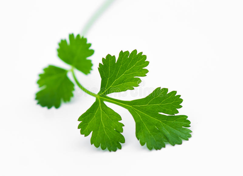 Fresh coriander leaves. Over white stock photography