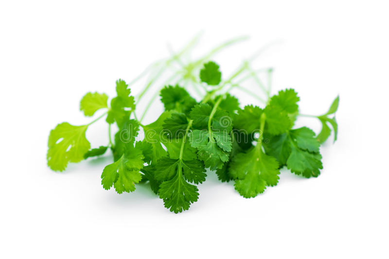 Fresh coriander leaves. Over white royalty free stock photography