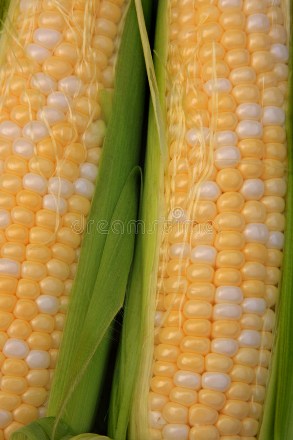 Download Fresh Corn stock image. Image of agriculture, country - 10608613