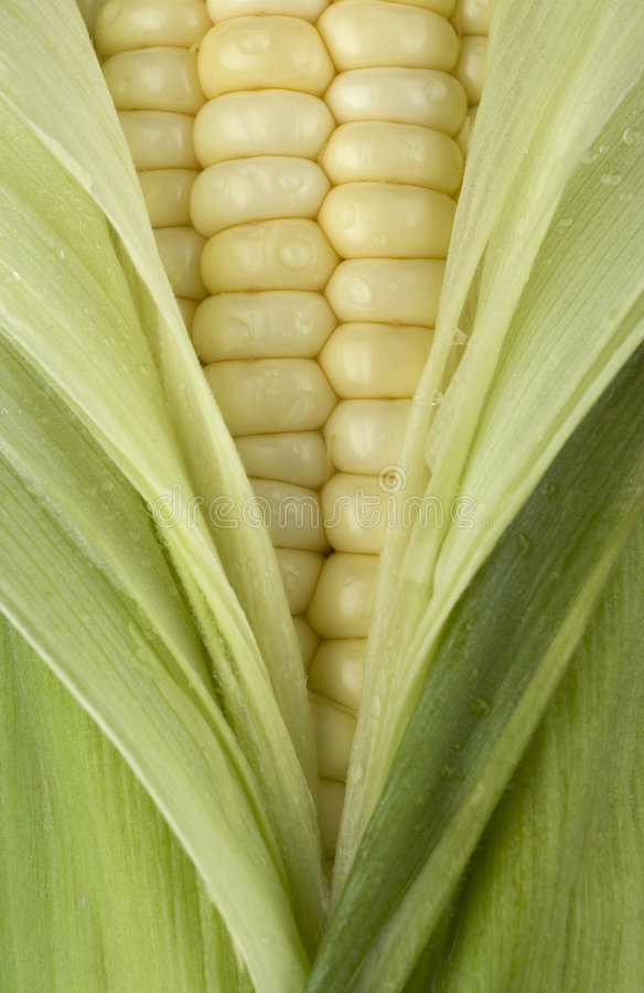 Fresh Corn. stock photography