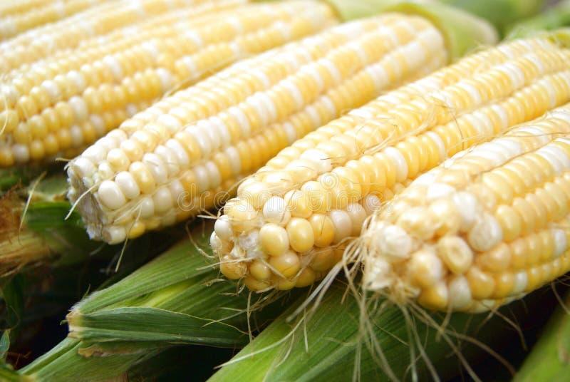 Fresh corn cob royalty free stock photography