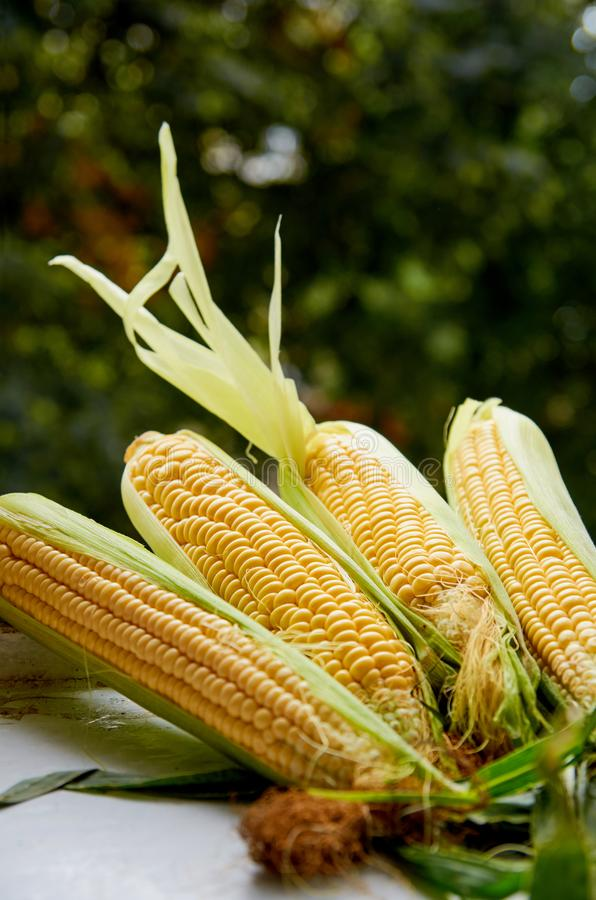 Fresh corn cobs with corn leaves on a white table close up on the blurred nature background. Side view royalty free stock images