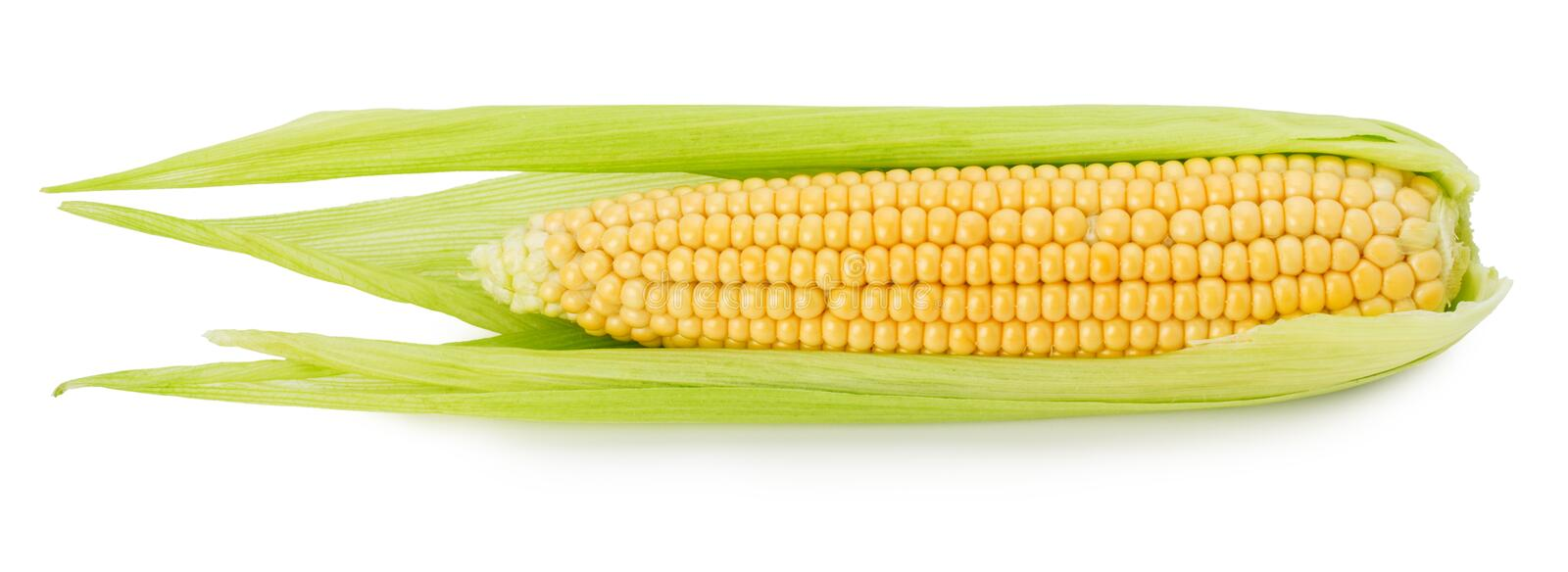 Fresh corn ear isolated on the white background stock image