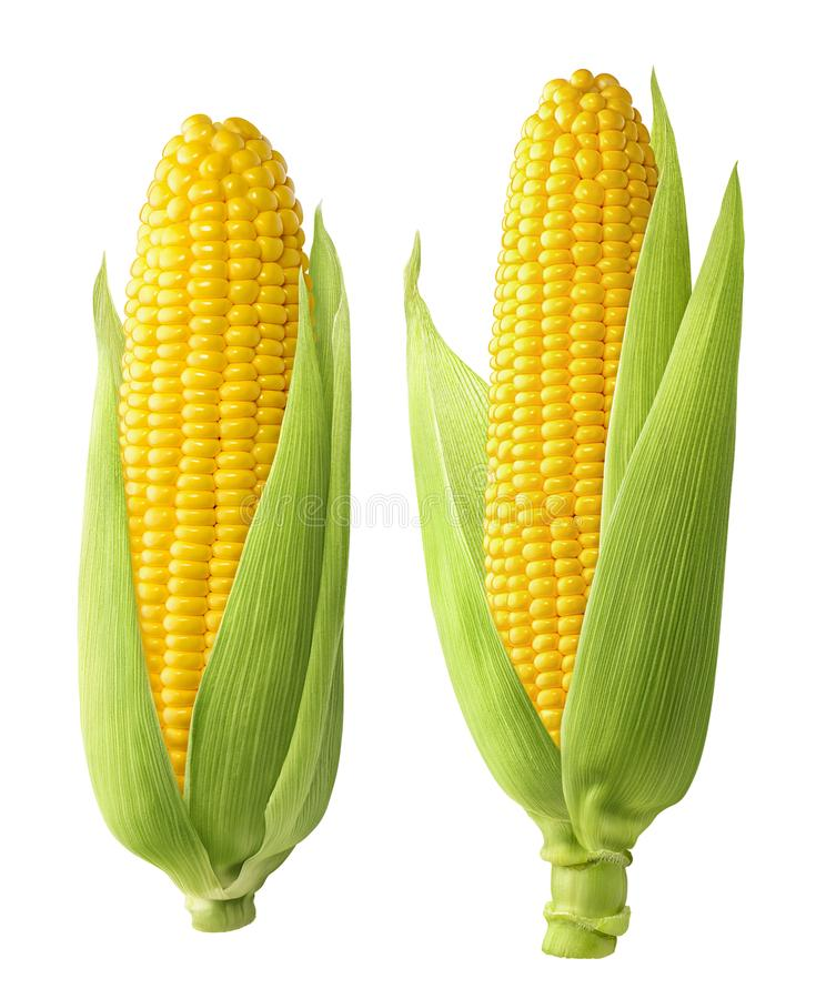 2 fresh corn ears with leaves isolated on white background royalty free stock images