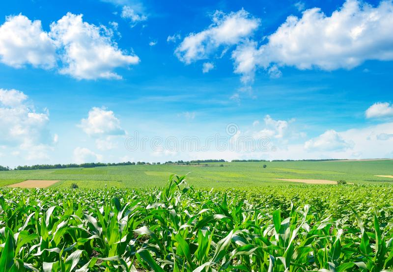 Fresh corn field with young plants and blue sky stock photos