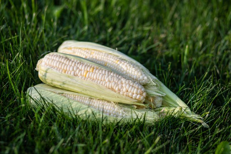 An image of fresh corn. On the grass royalty free stock photos