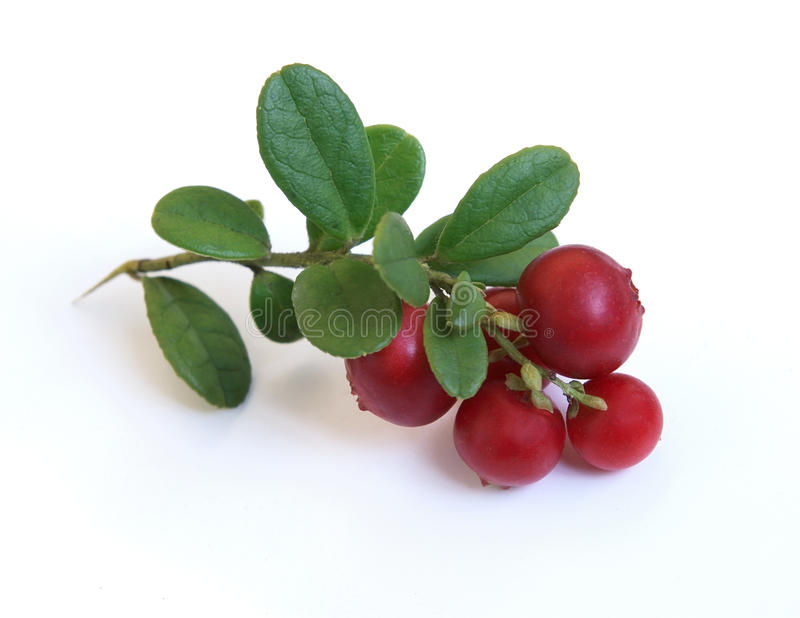 Fresh cowberry. On a white background stock image