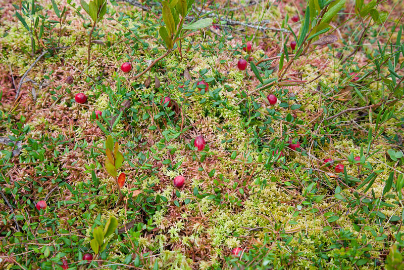 Fresh cranberries royalty free stock photos