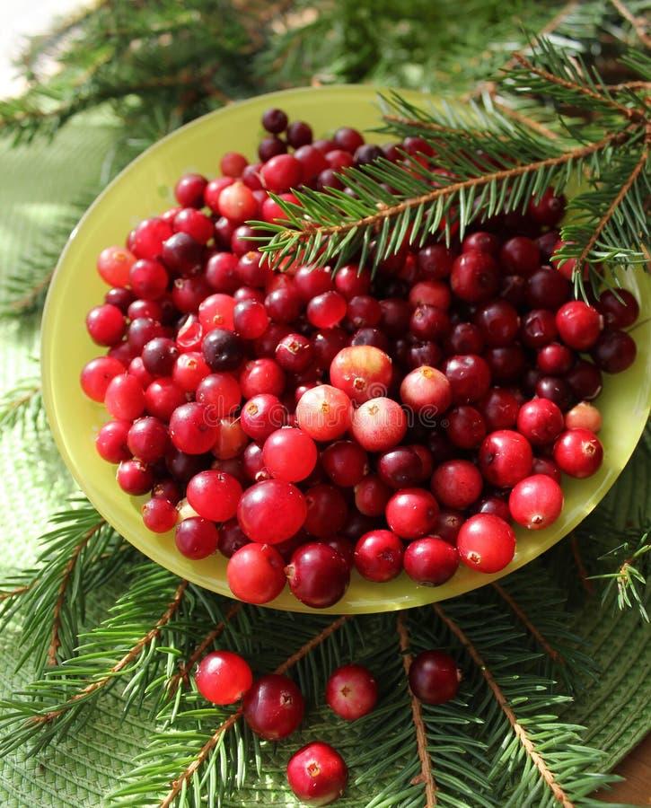Fresh cranberries. ( Vaccinium oxycoccus stock photography