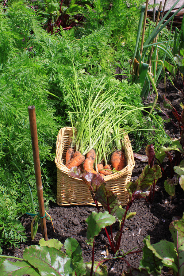 Fresh Crop of carrots stock photography