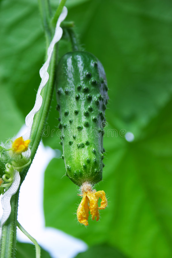 Fresh Cucumber Royalty Free Stock Images