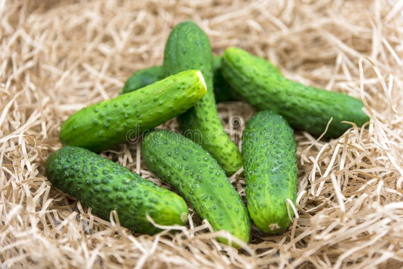 Fresh cucumber harvest. Cucumbers vegetable on a hay straw grass royalty free stock photos