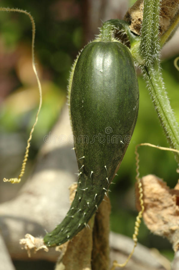 Fresh Cucumber Plant royalty free stock photography