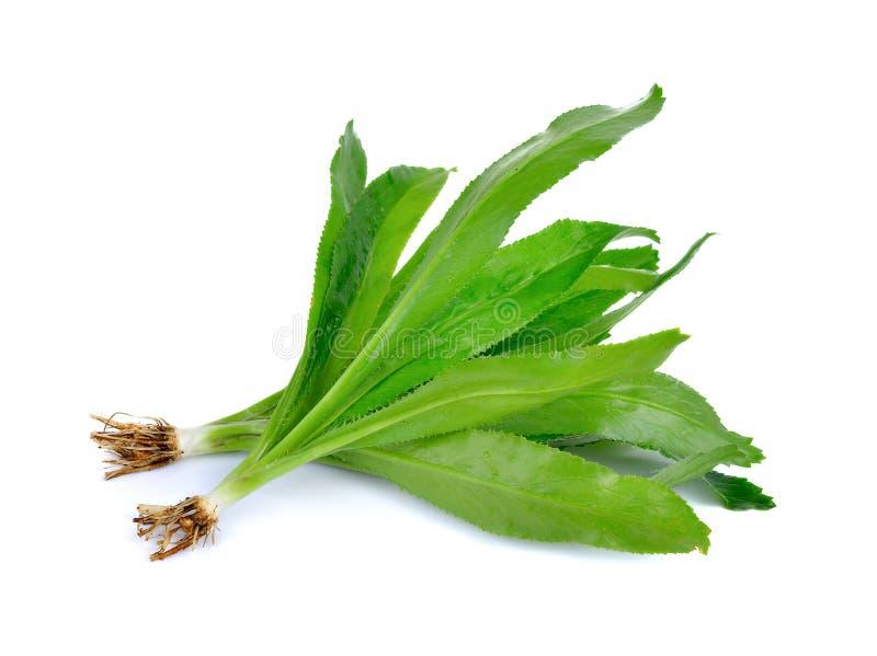 Fresh culantro,Sawtooth Coriander - Eryngium foetidum royalty free stock photos