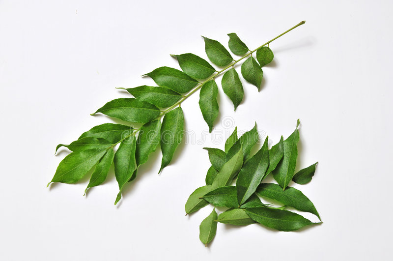 Fresh curry leaves stock photography