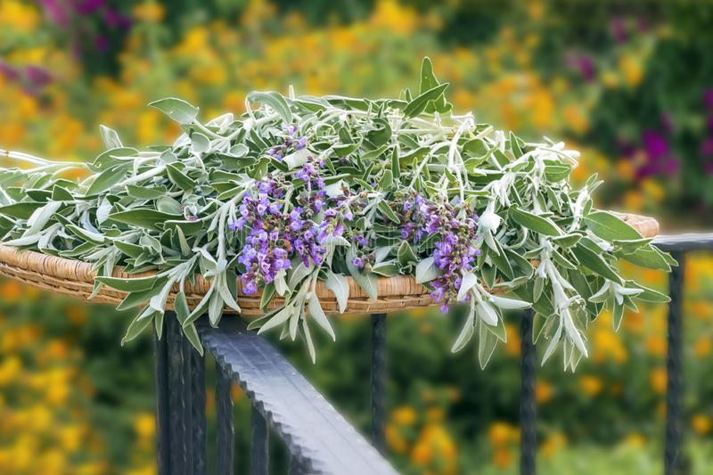 Fresh cut flowering plant sage on a wicker wooden tray outside in summer garden . Floral background stock images