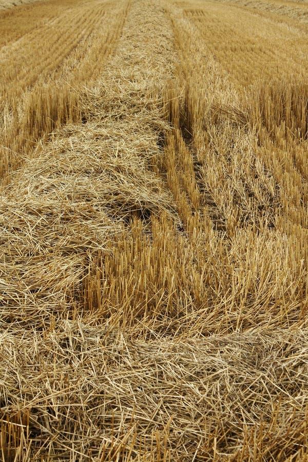 Fresh cut wheat stock photos
