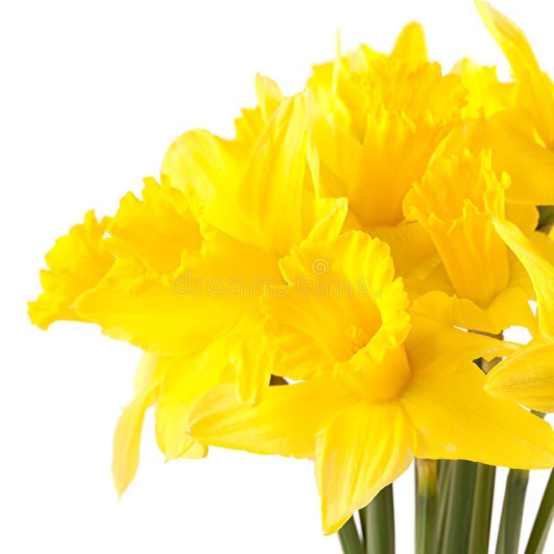 Fresh daffodils. Isolated on white background stock image