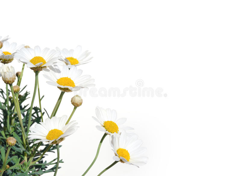 Download Fresh Daisies Isolated On White Stock Photo - Image: 14015372