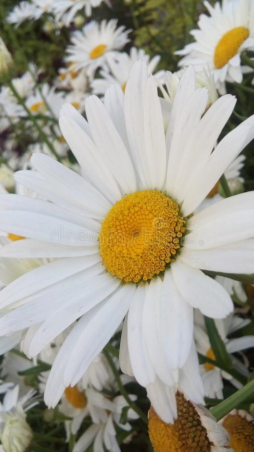 Fresh daisy time outside stock photography