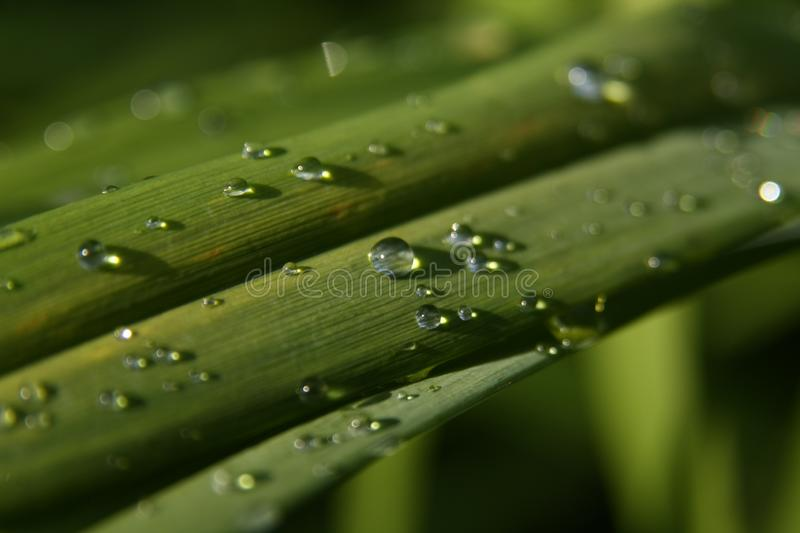 Fresh dew drops on grass leaf. Close, closeup. Fresh dew drops on green grass leaf on sunny morning stock photo