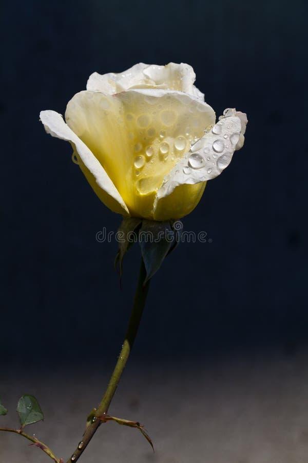 Fresh dew yellow rose stock photos