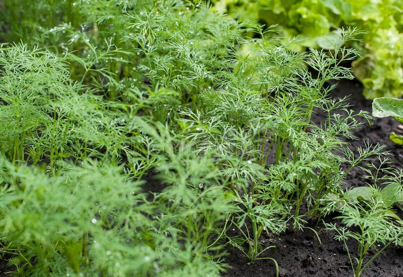 Fresh dill Anethum graveolens growing on the vegetable bed. Annual herb, family Apiaceae.  Growing fresh herbs. Green plants stock photo
