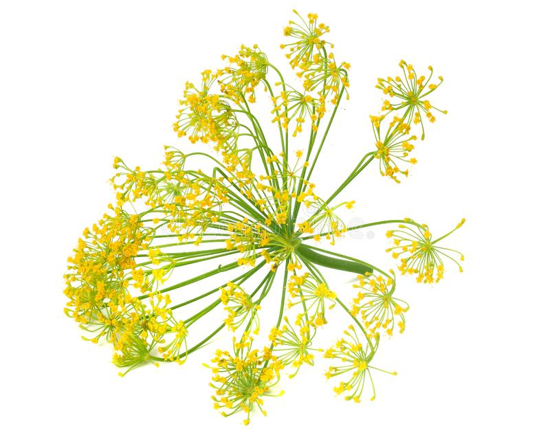 Fresh dill flower isolated on white background royalty free stock photography