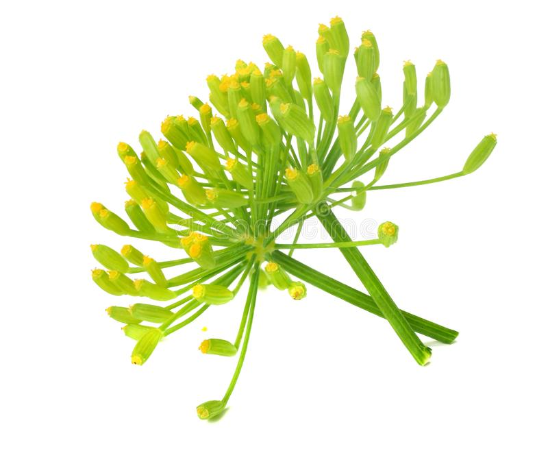 Fresh dill flower isolated on white background stock photography